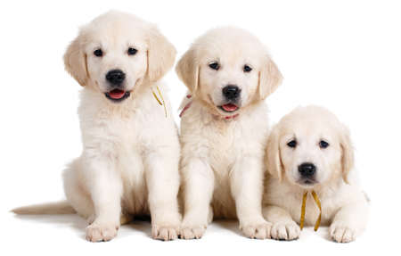 Three white Labrador puppy on white background, Studio portrait of three puppies of breed the white Labrador Retriever, with black eyes and black noses, sitting together on a white floor in the Studio, posing on a white background