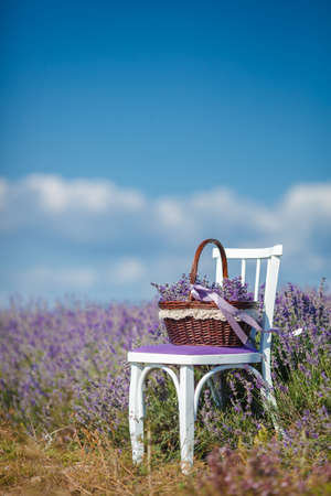 lavande: Summer, lilac blooming field of lavender, white chair with backrest stands among the flowers on the chair is brown wicker basket full of flowers of lavender, air, color and aroma of mountain lavender. Stock Photo
