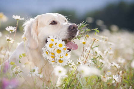 field of daisies: Closeup portrait of young beautiful dog breed Golden Retriever, kind brown eyes, pink tongue, holding in teeth a bouquet of white field daisies with yellow center, photo is made in spring on a mountain meadow