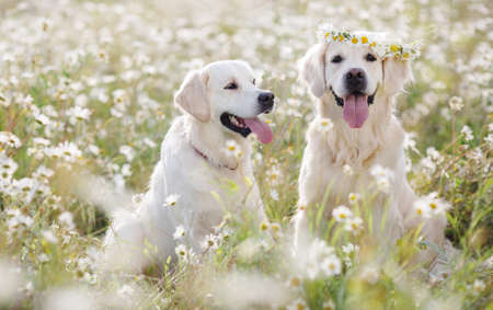 Two young dogs of the breed Golden Retriever on a hot summer day on a walk in a blooming field of white daisies, kind brown eyes and pink tongues on the head of one dog - a wreath of wildflowers Stock Photo