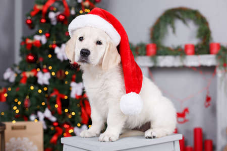 Christmas portrait of white puppy golden retriever on his head wearing a red cap of Santa Claus posing in the studio on a festive background of green elegant Christmas tree with red balls sitting on a white wooden platform Stock Photo - 65487268