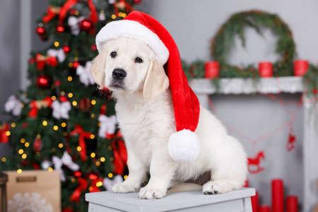 Het portret van Kerstmis van wit puppy golden retriever op zijn hoofd dragen een rode muts van de Kerstman stellen in de studio op een feestelijke achtergrond van groene elegante Kerstboom met rode ballen zitten op een witte houten platform Stockfoto
