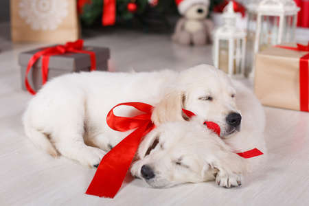 Two beautiful golden retriever puppy with tied red ribbons around the neck, a sweet sleep on the floor on a white background green elegant Christmas tree decorated with red balls and boxes with gifts, one puppy rested his head on the back of another Stock Photo
