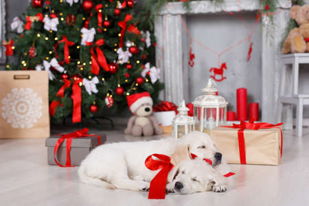Two beautiful golden retriever puppy with tied red ribbons around the neck, a sweet sleep on the floor on a white background green elegant Christmas tree decorated with red balls and boxes with gifts, one puppy rested his head on the back of another Reklamní fotografie