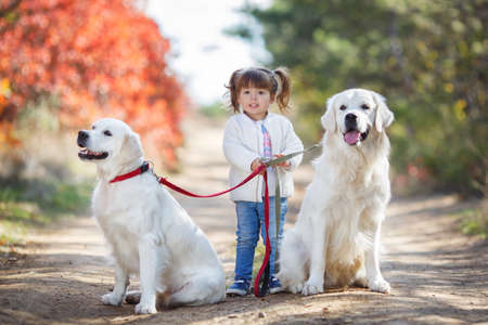 Little cute girl, brunette, hairstyle with two ponytails, wearing a light blue jeans and a white jacket, walks on the leashes of two big, beautiful dogs of the breed Golden Retriever in autumn Park with red-yellow-green trees and shrubs Stock Photo
