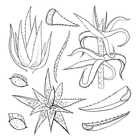 Aloe species and part of plants set. Vector hand drawn outline sketch illustration on white background. Succulents and leaves in different points of view