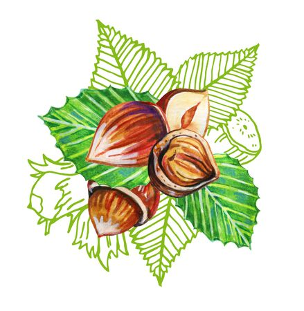Composition with hazelnuts and leaves. Hand drawn watercolor and outline graphic illustration on white background Фото со стока