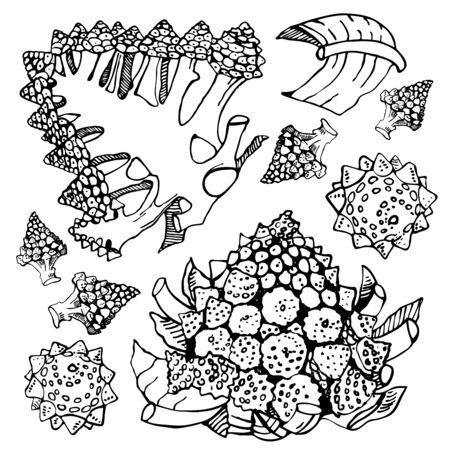 Ensemble de choux brocoli romanesco. Illustration de croquis de vecteur de contour dessiné à la main. Isolé sur fond blanc