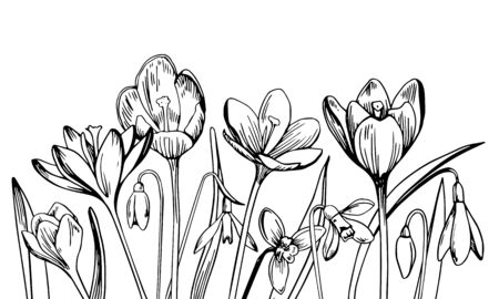 Composition with crocuses in a row on the bottom of the page. Hand drawn outline vector sketch illustration on white background