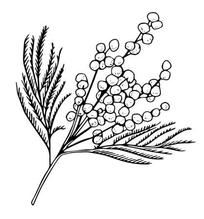 Mimose Filiale. Handgezeichnete Vektor Umriss Schwarz-Weiß-Skizze Illustration. Isoliert auf weißem Hintergrund