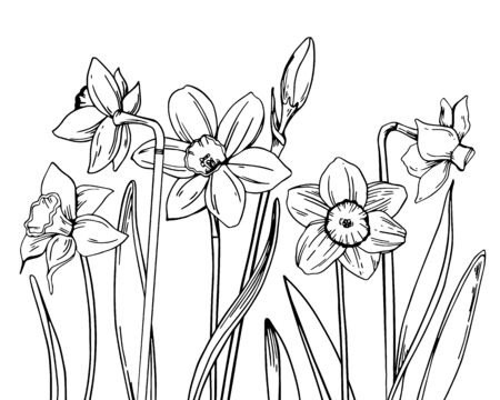 Composition with narcissus in a row on the bottom of the page. Hand drawn outline vector sketch illustration Illusztráció