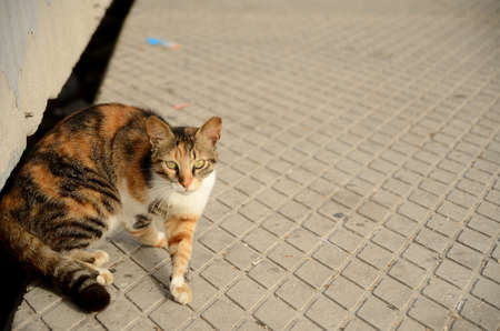 calico: Calico  cat walking around