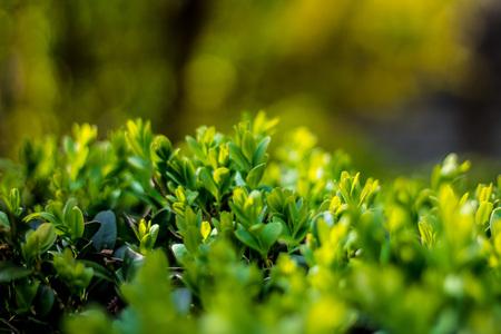 Juicy green Ilex crenata, fresh plant