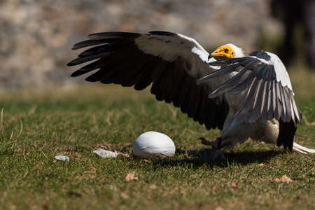 Egyptian Vulture is hunting bird egg (Neophron percnopterus) bird of prey, also called the white scavenger vulture or pharaoh's chicken, breaking a bi