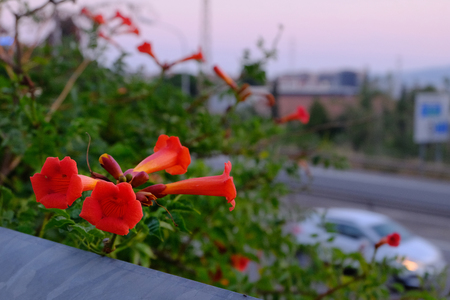 Red flower on a blurred evening background with a road and squealing along the road white car Stock Photo