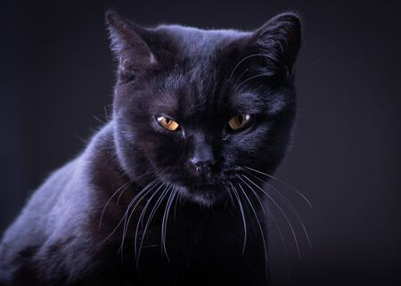 Black Britain cat with yellow eyes