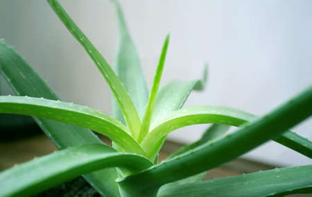 vera: aloe vera plant isolated on a white background