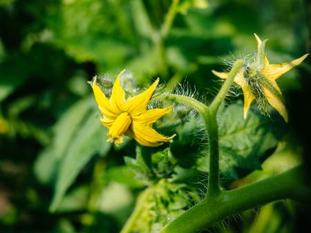 Tomato flower in greenhouse, cherry variety Stock Photo