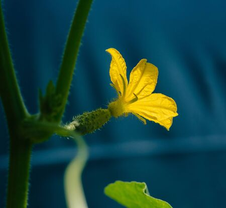 Small cucumbers with flower in the greenhouse Stock Photo