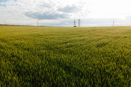 flight of the drone over the agricultural lands with young spring wheat and high voltage lines. aerial view of a wheat, blue sky and power lines Stock Photo