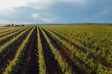 Aerial view of a vineyard plantation in late afternoon lights. Agriculture Plantation Grapes Vine Vineyard epic sunrise. Aerial Vineyard Video