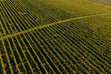 Aerial view of vineyards. Agriculture Plantation Grapes Vine Vineyard Italy. Aerial Vineyard Video