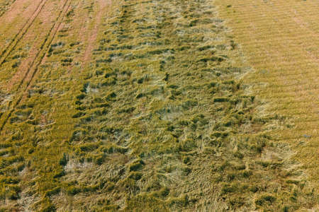 aerial view of a wheat field affected by the disease. drone flight over agricultural land with wheat, drought,