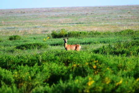 Siberian ROE deer graze in the steppe on a summer day. The Siberian ROE deer (Capre?lus pyg?rgus) is a cloven - hoofed animal of the deer family, related to the European ROE deer.