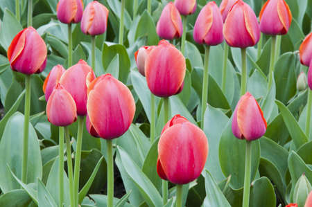 tulip in flower field Stock Photo - 13389667