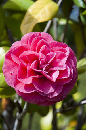 Red camellia flower photo