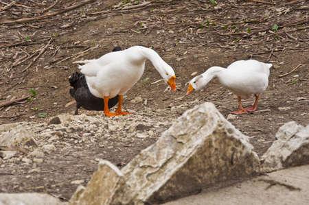 Graylag goose Stock Photo - 13516875