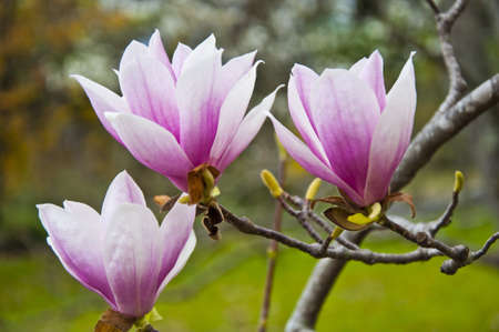 magnolia tree: The flower Stock Photo