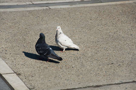 Pigeon walks photo