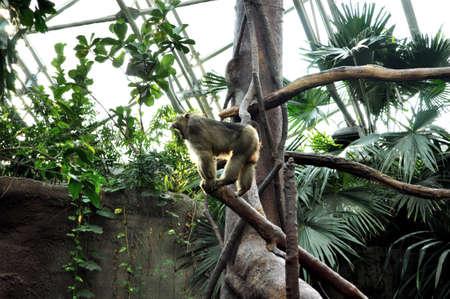 Monkey on tree, jungle Stock Photo - 13522799