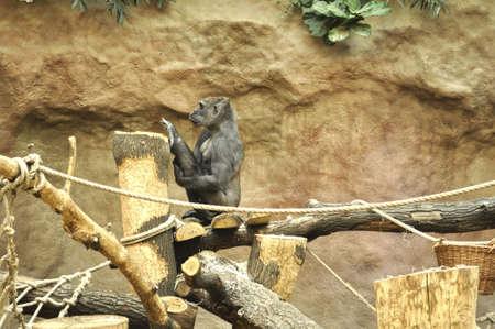 Gorila doing exercises photo