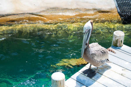 gracefully: American pelican rests on post in Florida