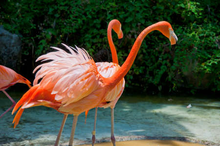 pink flamingo: Some flamingos in the water Stock Photo