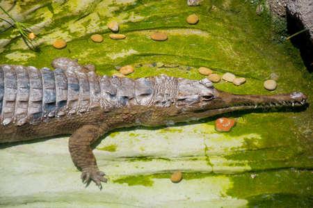 crocodile Stock Photo - 14299756