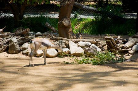 grant: Young grant gazelle bock