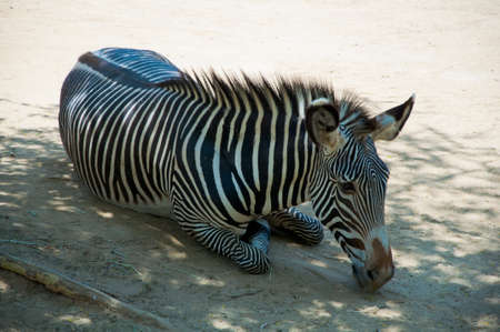 Zebra at Zoo of Los Angeles photo