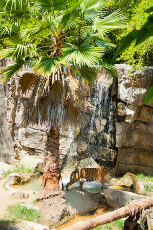 Royal Bengal tiger at zoo of Los Angeles photo