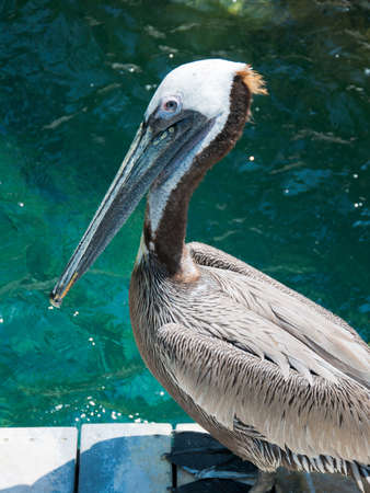 gracefully: American pelican rests on post at Zoo of Los Angeles