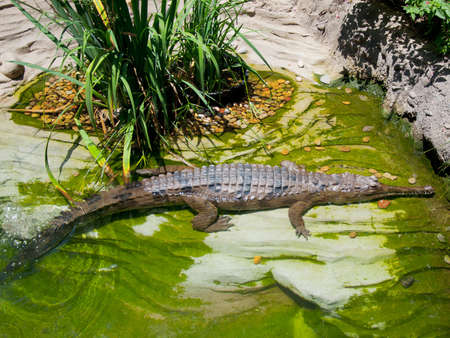 Gharial crocodile at Zoo of Los Angeles Stock Photo - 14311537