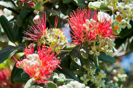 fabales: summer mimosa tree flower