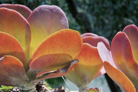 Peacock Echeveria Cactus in one of the street of Los Angeles photo