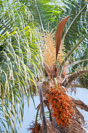 Date palm branches with ripe dates. Northern israel. photo