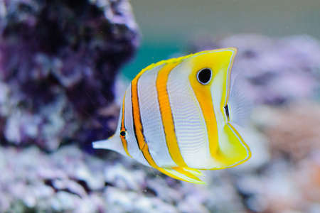 chelmon: Copper banded butterflyfish in the aquarium against coral Stock Photo