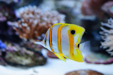 Copper banded butterflyfish in the aquarium against coral Stock Photo