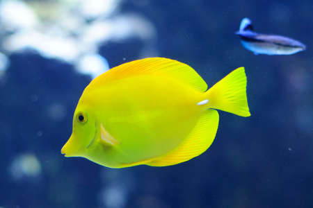 yellow tang: Zebrasoma Flavescens yellow tang in the blue aquarium Stock Photo