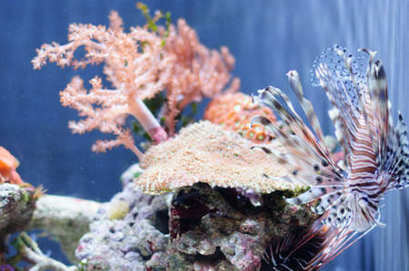 lionfish: Very beautiful red lionfish against the coral in light water Stock Photo